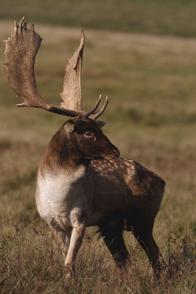 Damhirsch Jagd Polen
